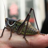 Jim Wilson   God's Chorus of Crickets   crickets audio recording slowed way down