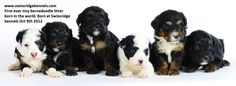 Tiny bernedoodle litter!  First ever born in the world!!!!!! How cute are these pups?!?!? tini bernedoodl, bernedoodl litter, ador puppi