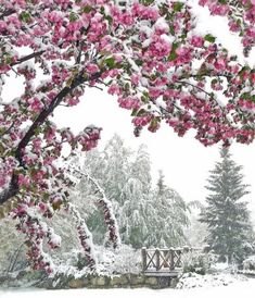 snow and cherry blossoms