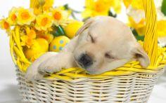 anim, dog photos, happy puppy, pet, wallpapers, lab puppies, labrador puppies, baskets, easter bunny