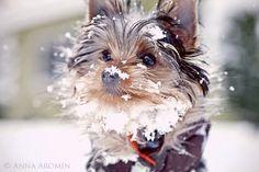 Snow Yorkie. snowstach, anim, pet, winter fun, snow stach, ador, puppi, little dogs, snow yorki