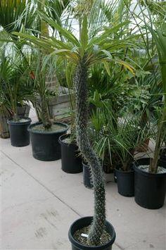 plants, pachypodium, garden