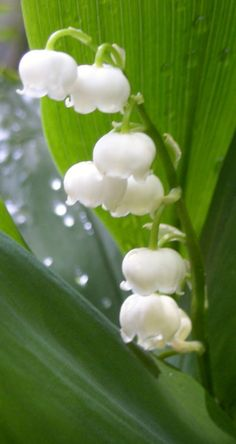 cute Lily of  the Valley http://www.mkspecials.com/