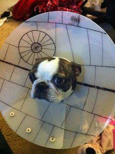 Awesome and/or hilarious pictures involving dogs (and cats!) rocking their cones of shame - 24 of them.