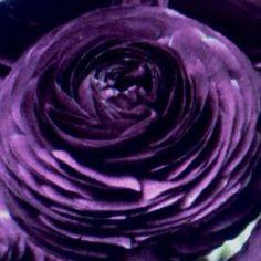 purple persian buttercups