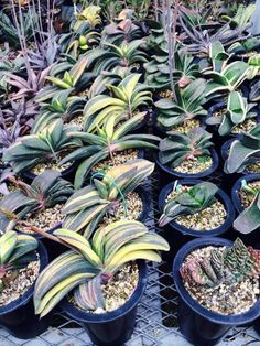 Succulent Plant Information: Varigated Gasteria