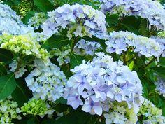 Hydrangea Garden Landscape Flower by Baslee Troutman