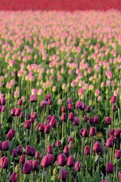 Tulips my fav