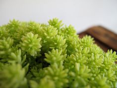 Sedum Yellow Moss by ConceptualNature on Etsy, $5.00