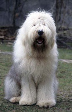 "There are a few theories on the pedigree of the Old English Sheepdog. According to the American Kennel Club, the OES is ""is believed to have descended from ..."