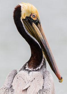 Pelican by John Vanderlaan