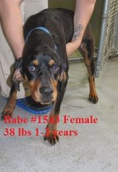 Babe is an adoptable Hound Dog in Beckley, WV. Babe is so sweet! Babe came into the shelter as a stray and she just wants a loving home and family to call her own. Please stop by the shelter and fall ...http://www.petfinder.com/petdetail/26599378