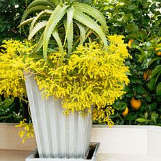 53 cool container gardens | Fireworks, contained | Sunset.com