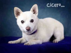 No Longer Listed for Adoption...Hoping for a Happy Ending! Petfinder  Adoptable | Dog | Schipperke | Rancho Cucamonga, CA | CICERO