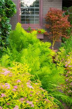 The dusty pink flowers and chartreuse leaves of 'Limemound' spirea (S. japonica) contrast in both texture and color with the feathery fronds of ostrich fern (Matteuccia struthiopteris) and a rusty-red 'Shirazz' Japanese maple against the house. | Photo: Dale Horchner | thisoldhouse.com