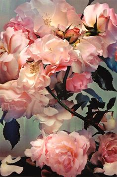 English Heirloom roses 'Delights'
