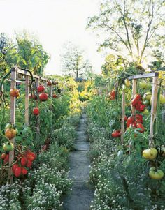 beautiful tomato garden.