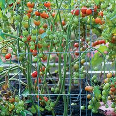 What's the best way to support your tomatoes? We explain 4 different methods. | From Organic Gardening