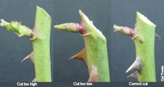 How to make pruning cuts on roses to preserve the bud so it isn't lost through die back.