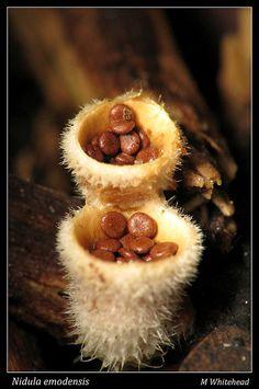 **Birds Nest Fungus (Nidula Emodensis) ~ By Michael Whitehead