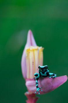Poison Dart Frog in Banana Flower