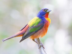 Painted Bunting by Dan Pancamo