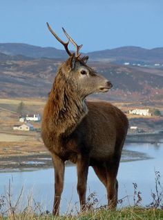 Young Red Deer Stag above Loch Ewe,  Aultbea, Wester Ross,  NW Highlands, Scotland. Photo by David May, via Flickr