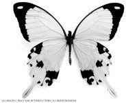 Butterfly blanks