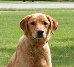 Buddy - Yellow Labrador Retriever/Golden Retriever mix - 8 yrs old - Martin County Humane Society - Fairmont, MN. - http://www.mchsofmn.org/ - https://www.facebook.com/pages/Martin-County-Humane-Society/84802198004?sk=timeline - https://www.petfinder.com/petdetail/30107085/