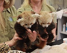 Red Pandas Are Little Handfuls At The Lincoln Children's Zoo