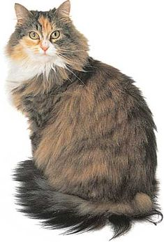 Maine Cooncat.  Probably the first American breed of  cat.  One of the largest breeds.  Intelligent and loving.  Very gentle with children.  Loves to hunt and will go in water.