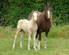 Taraco Stud welsh section D mare and foal