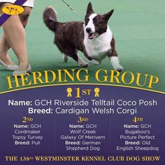 It's the first time a Cardigan Welsh Corgi has won the Herding Group at the Westminster Kennel Club Dog Show! Yay! Congrats, Coco!  2014