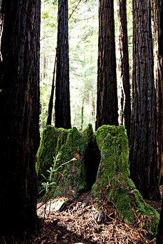 Redwood Regeneration | QUEST
