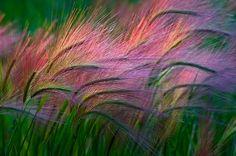 purple waves of grain