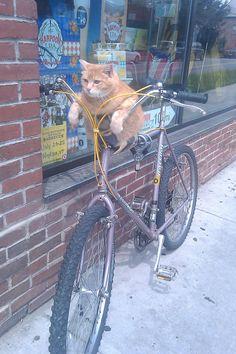 Chat sur un vélo.