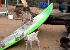 On Maui - Visit Surfing Goat Dairy