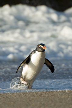 Penguin #penguin #animallovers #animals