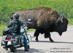 Reminds me of riding through Yellowstone. It is quite a thrill to ride so close to buffalo (and boy do they make you feel tiny!)