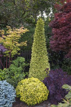 Conifers, acers, smoke tree