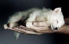 . hand, anim, fox, little puppies, pet, sleeping babies, dog, baby puppies, cub