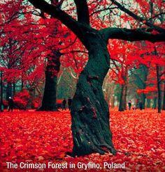 forests, tree, polska, autumn, poland, crimson forest
