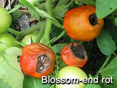 Growing Tomatoes & Tomato Growing Tips. A complete guide on how to grow tomatoes that are perfect and flavorful!  Troubleshooting Problems in Tomatoes