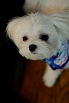 Maltese. This face!