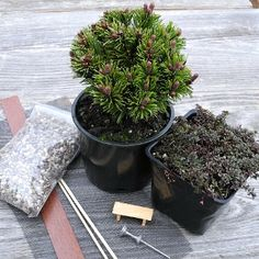 A Teeny Mini Miniature Garden Kit with Teeny Pine | #miniaturegarden #conifer #kit