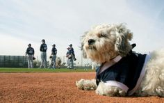 The Milwaukee Brewers found a stray dog roaming around the practice field during Spring Training. After failing to locate an owner, the team adopted the little guy and named him Hank. Hank has now become the unofficial team mascot. #RescueStory #HappyEnding #Baseball #SpringTraining #FeelGood   http://ftw.usatoday.com/2014/02/hank-stray-dog-milwaukee-brewers-spring-training-photos/