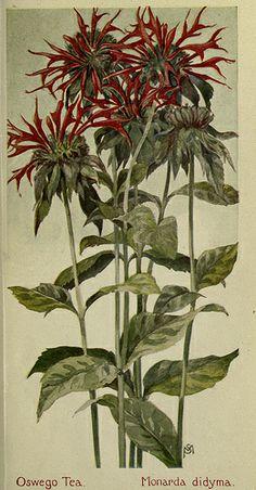 Oswego Tea, Field book of American Wild Flowers  [1912]