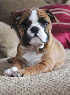 English Bulldog cuteness #puppy #dog #englishbulldog #breed #english #bulldog #best #dogs #cute #bulldogs #dog #pets #animals #canine #pooch #bullies