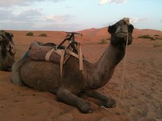 Camels are so synonymous with Arab culture and way of life. I suggest everyone to try camel milk