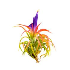 Beautiful Air plant - never seen this color before!
